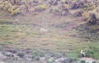 Coyote at Bull Spring