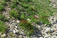 Wildflowers amidst the talus