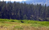 Moose in Teton Wilderness