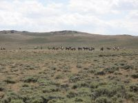 Large horse herd